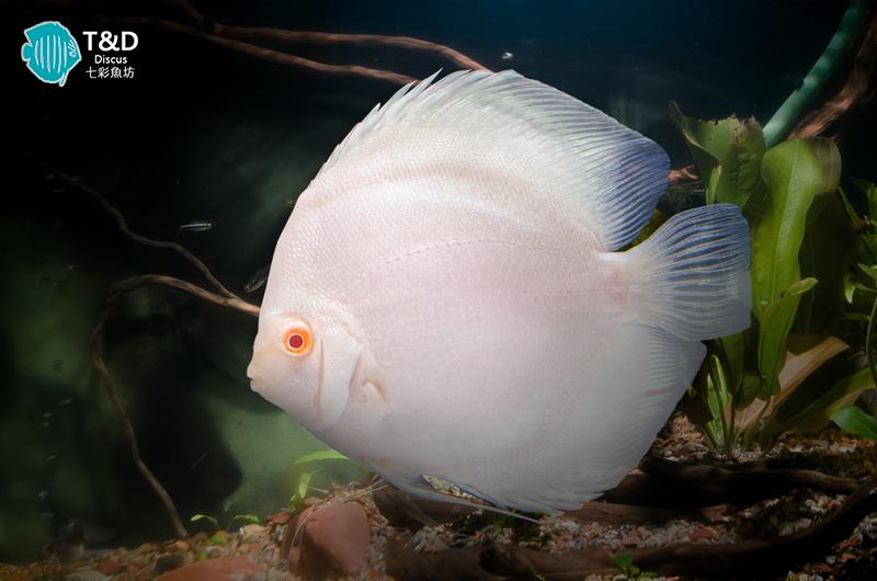 Albino Platinum