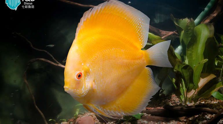 Golden Lemon Discus