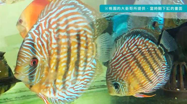 Mr. David form Taoyuan brought more Royal Blue and Cardinal Tetra home.