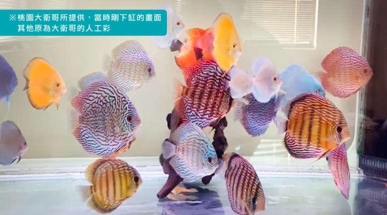 分享:古有三顧茅廬,今有大衛哥三顧漁場(12 隻七彩)