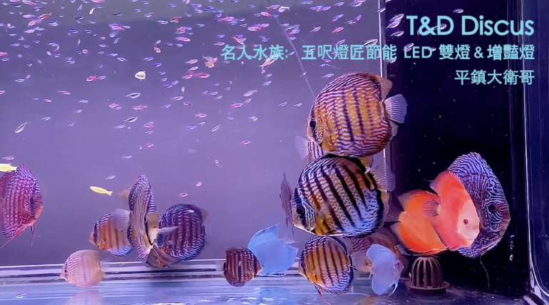 David's Wild Discus & colorful fish tank Part II