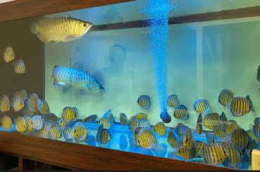 (繁體中文) 新莊李教官的「88 隻」壯觀野彩,與一對過背金龍(1,800 公升魚缸)