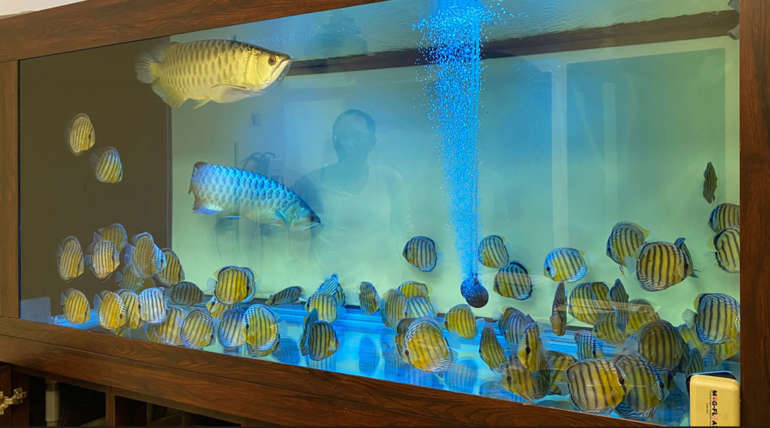 Instructor Li's 88 spectacular Wild Discus and a pair of Golden Crossback Arowana in Xinzhuang (1800L tank)