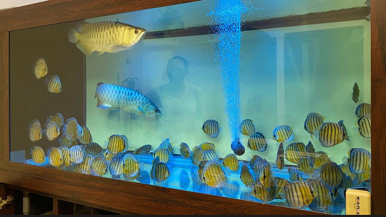 新莊李教官的「88 隻」壯觀野彩,與一對過背金龍(1,800 公升魚缸)