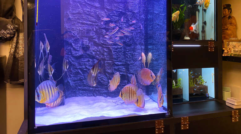 Mr. Li who lives in Xindian, whose Wild Discus aquarium on the wall