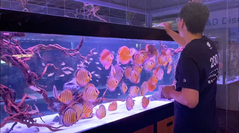 T&D 12-foot Wild Discus display tank: feeding show