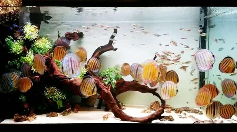 (繁體中文) 新店李大哥的 5 呎 8 野彩生態系統缸:30 隻野彩入住豪宅