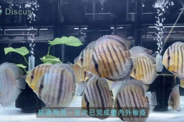 (繁體中文) 野彩產季結束 all in show hand