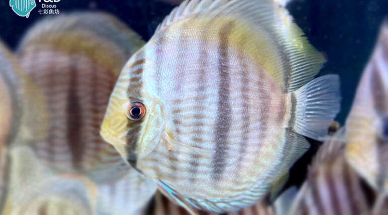 Nhamunda Blue Face Heckel