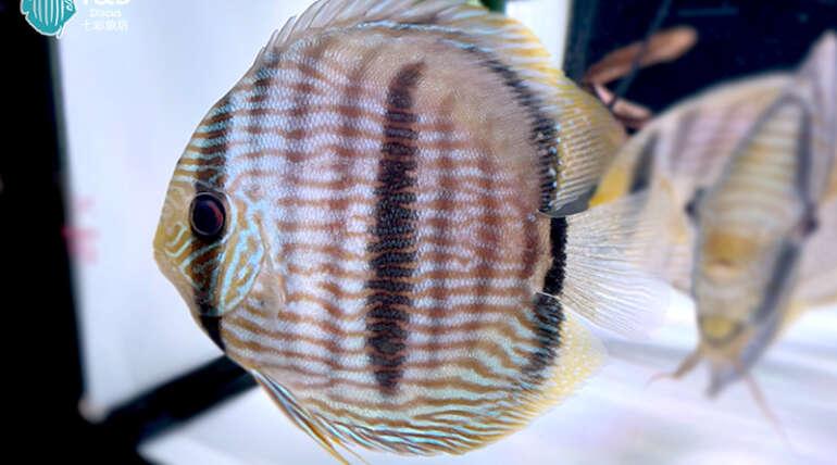 Nhamunda Heckel Blue